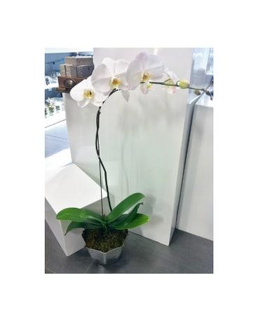 Contemporary Orchid Plant