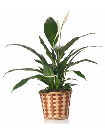 Buds and Blooms Peace Lily in a Basket
