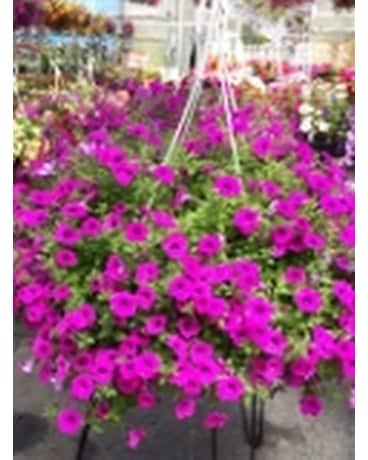 quick view 12inch blanket petunia hanging basket