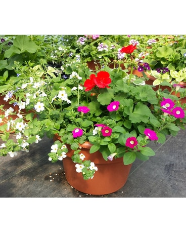 12 Mixed Geranium Patio Pot