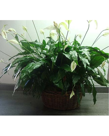 Double Peace Lily
