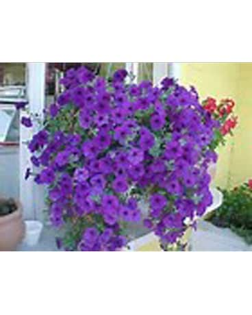 Purple Petunia Hanger