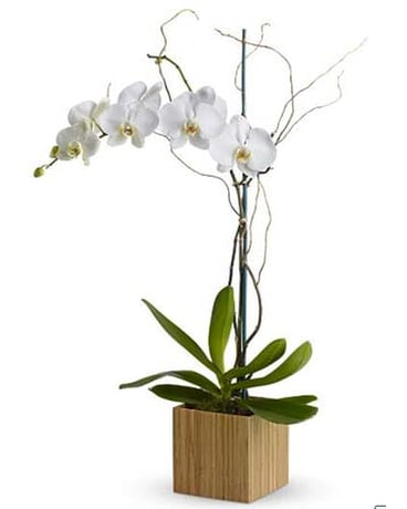 Opulent White Orchid
