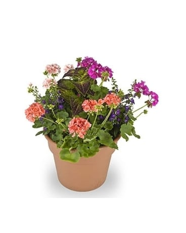 Mixed Geranium Patio Pot