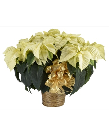 6 Bloom White Poinsettia