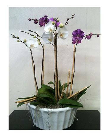 Merveilleux Phaleanopsis Orchid Planter