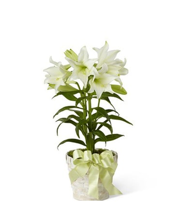 FTD Easter Lily Plant