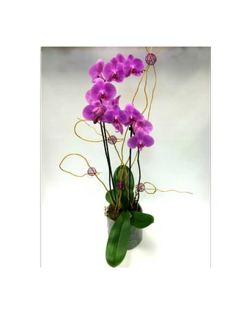 Double Stemmed Orchid