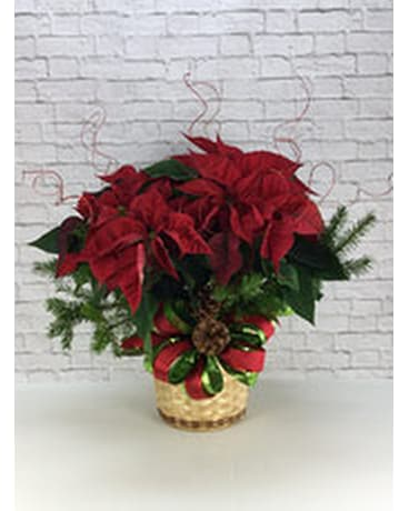Dressed Poinsettia 8 Inch Pot Mccarthy White S Flowers