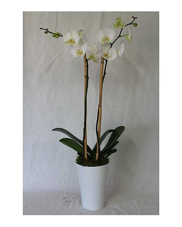 Double Stemmed Orchid Plant