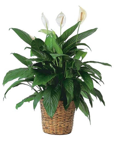 Spathiphyllum Plant by Hoogasian Flowers