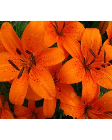 Designer's Choice Tiger Lilies
