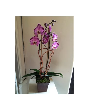 Purple Passion Orchid