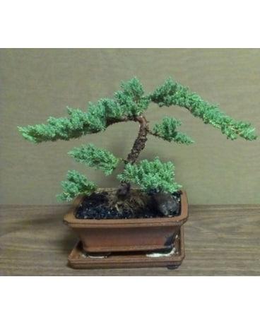 Quick View Bonsai Plant