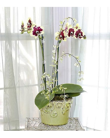 Double Stalk Orchid