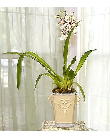 Hybrid Oncidium Orchid