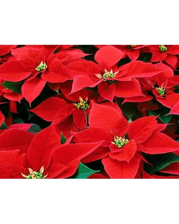 Red Poinsettias 10 Pot