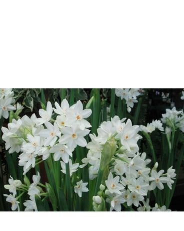 PaperWhite Plants (Narcissus)