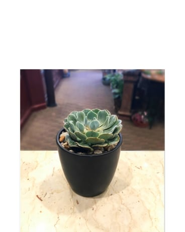 Single Succulent in Ceramic