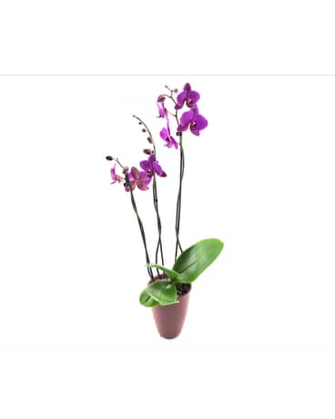Orchid Vase In San Angelo Tx Shirleys Floral Company