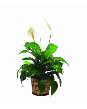 Small Peace Lily - FREE DELIVERY