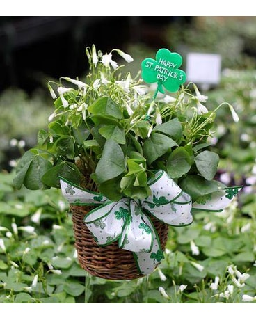 Green Oxalis Shamrock Basket