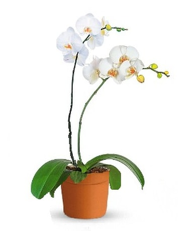 Growers Choice Orchid Plant