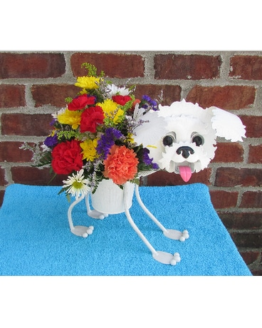 MINIATURE BICHON FRISE-for local delivery onl