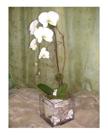 Cascade White Phal Orchid Plant with Birch Bark