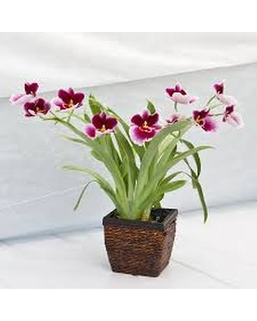 Quick view Orchid Plants from California Greenhouses