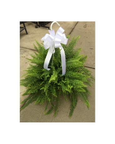 12 Boston Fern