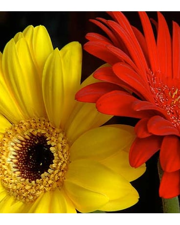 Fresh Cut Gerbera Deal & TAX FREE ON SALE NOW