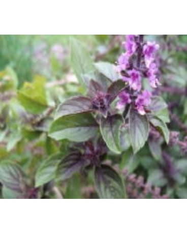 4in Pot:African Blue Basil