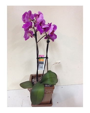 Purple Orchid in a Ceramic Pot