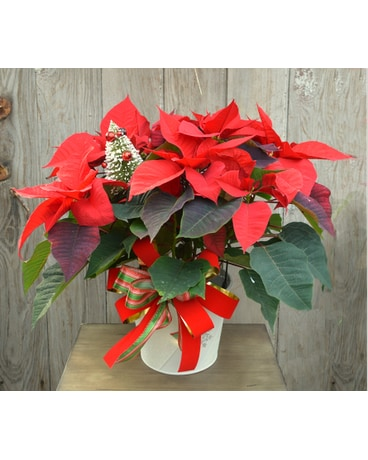 Red Poinsettia Dressed