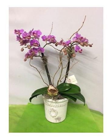 Quick view Gorgeous Multi-Stemmed Phaleonopsis Orchid Plant