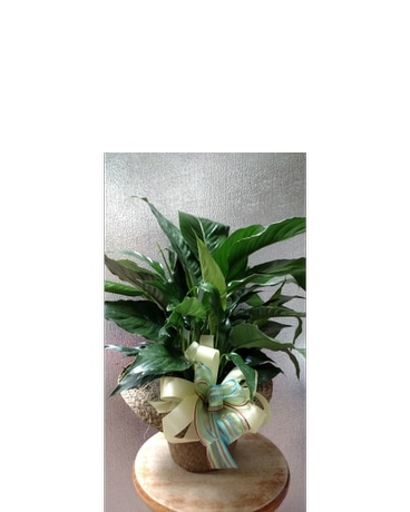 Plant in Hat Basket w/ Bow