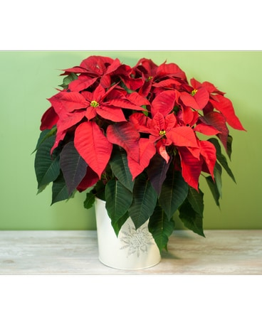 Long Island Premium Red Poinsettia - Large