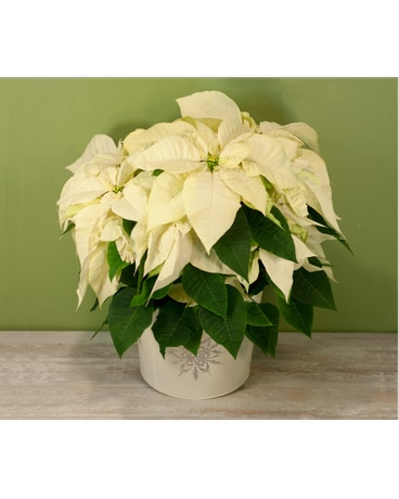 Long Island Premium White Poinsettia