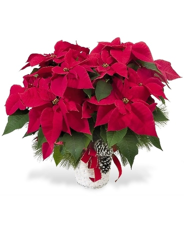 Holiday Poinsettia With Pine Cones and Greens