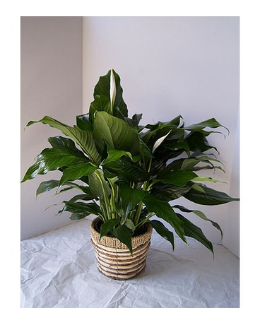 Peace Lily (small)