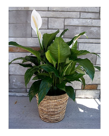 Peace Lily (large)