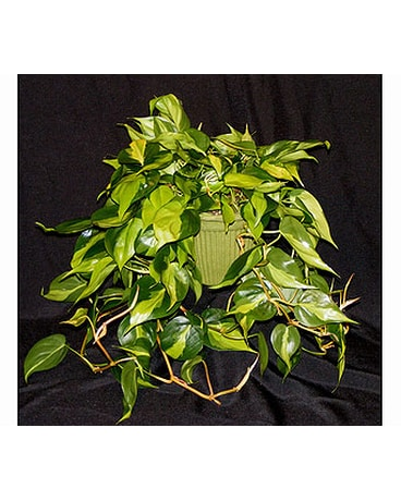 Variegated Philodendron in Ferndale MI - Blumz   by JRDesigns
