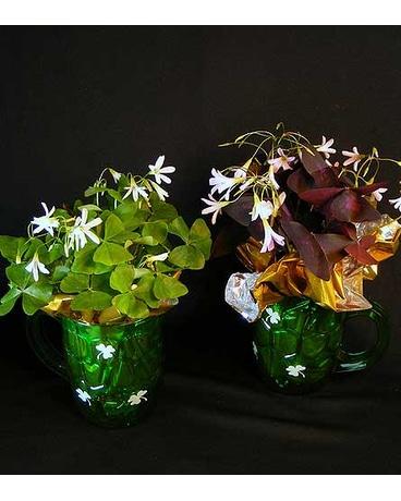 251 & Potted Shamrock Oxalis plants in Ferndale MI - Blumz...by ...