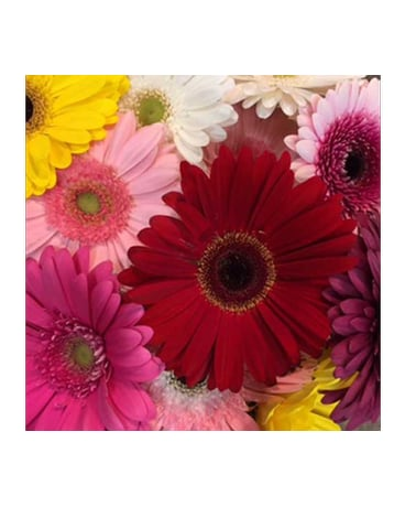 Gorgeous Gerberas!