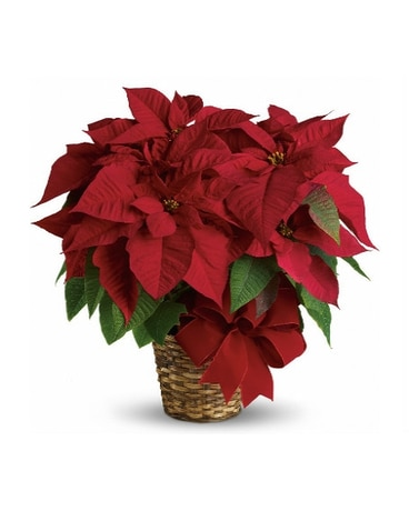8 red poinsettia
