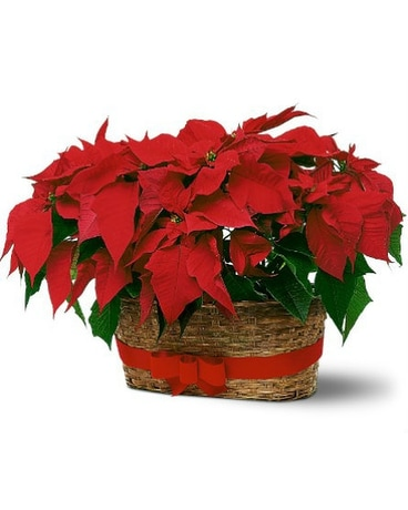 Double Red Poinsettia