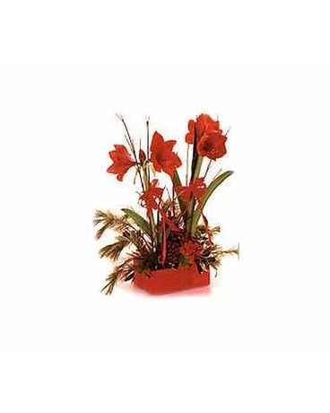 Amaryllis In Wooden Crate