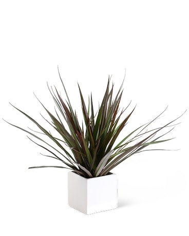 Dracaena Marginata Plant Flower Arrangement