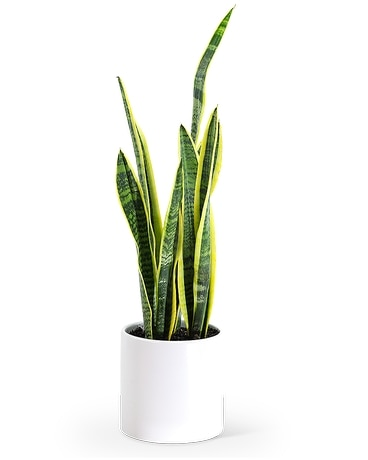 Sansevieria Plant Flower Arrangement